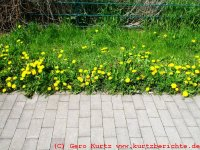 Butterblumen Gelee Butterblumen am Weg