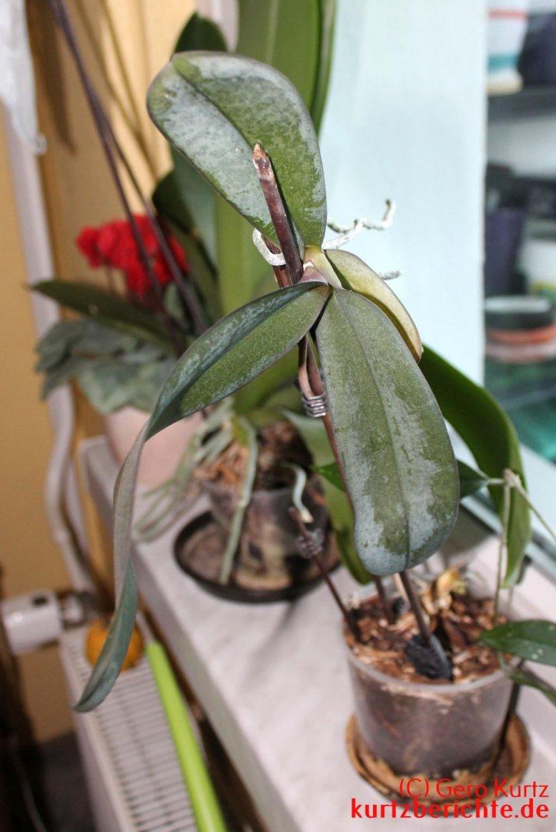 wann ableger von orchideen abnehmen